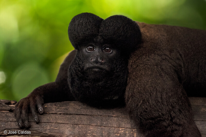 Photo of a Black Bearded Saki